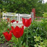 Tulpaner vid grinden